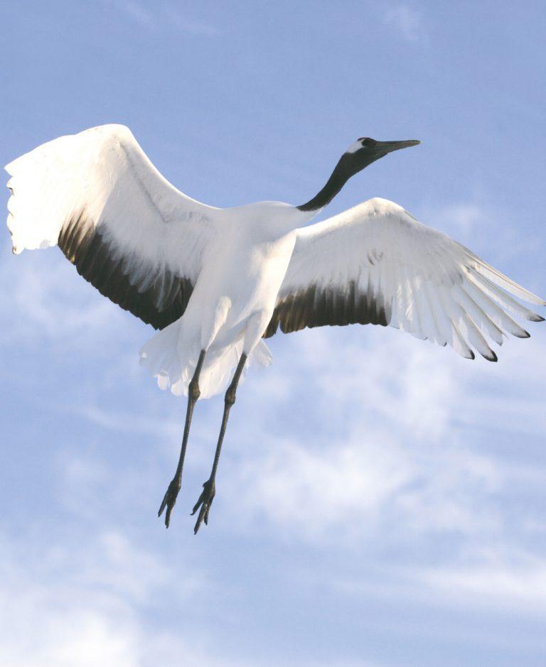 Japanse Kraanvogel