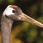 dieren-azie-japanse-kraanvogel-pasfoto