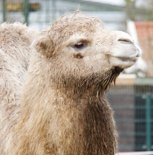 dieren-azie-kameel-fact-01
