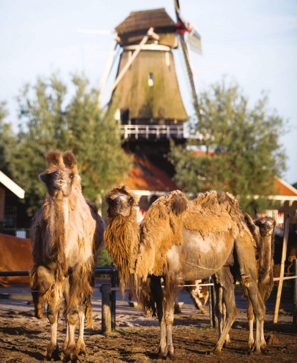 dieren-azie-kameel-hoofdafbeelding