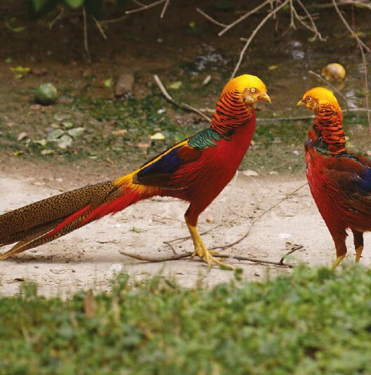 dieren-azie-lady-amherst-fazant-fact-02