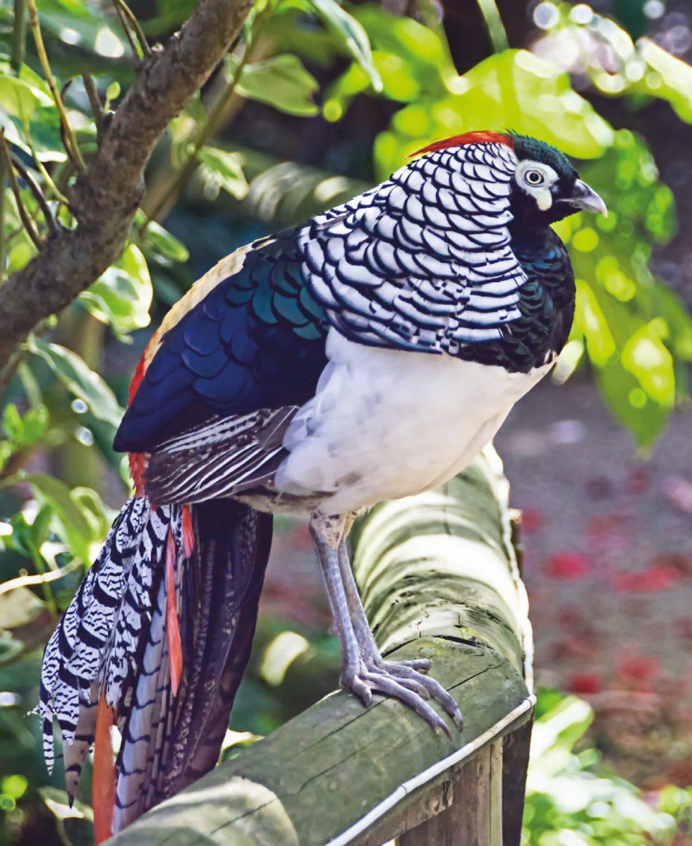 dieren-azie-lady-amherst-fazant-hoofdafbeelding