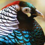 dieren-azie-lady-amherst-fazant-pasfoto