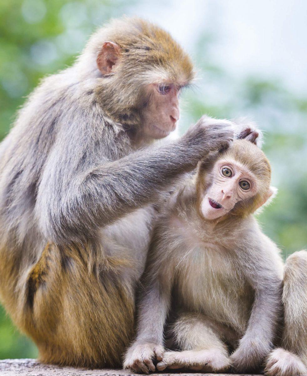 dieren-azie-resusaap-hoofdafbeelding