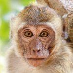 dieren-azie-resusaap-pasfoto