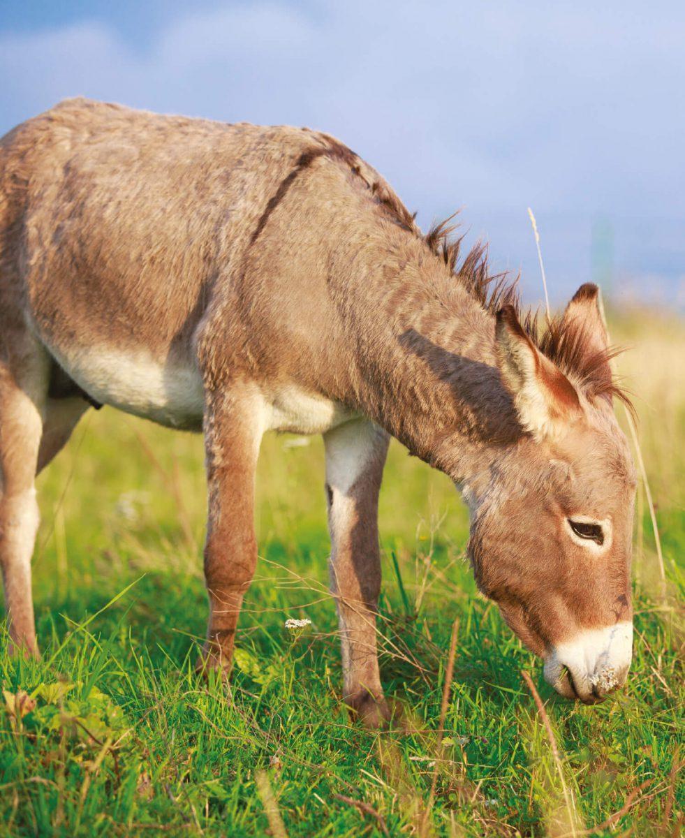dieren-eurazie-ezel-hoofdafbeelding