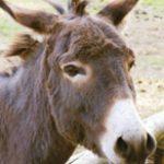 dieren-eurazie-ezel-pasfoto