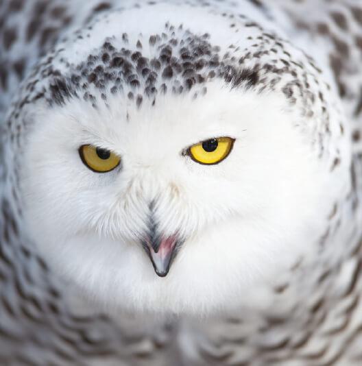 dieren-eurazie-sneeuwuil-fact-01