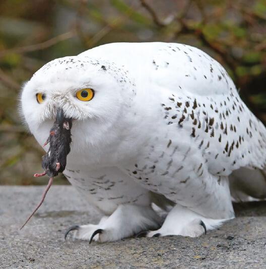 dieren-eurazie-sneeuwuil-fact-02