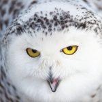 dieren-eurazie-sneeuwuil-pasfoto
