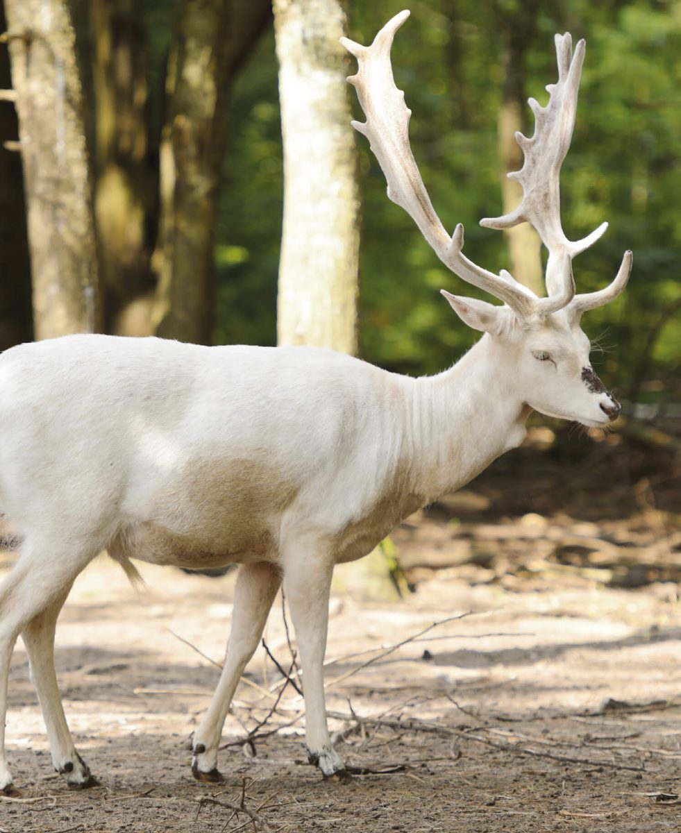 dieren-eurazie-wit-damhert-hoofdafbeelding