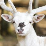 dieren-eurazie-wit-damhert-pasfoto