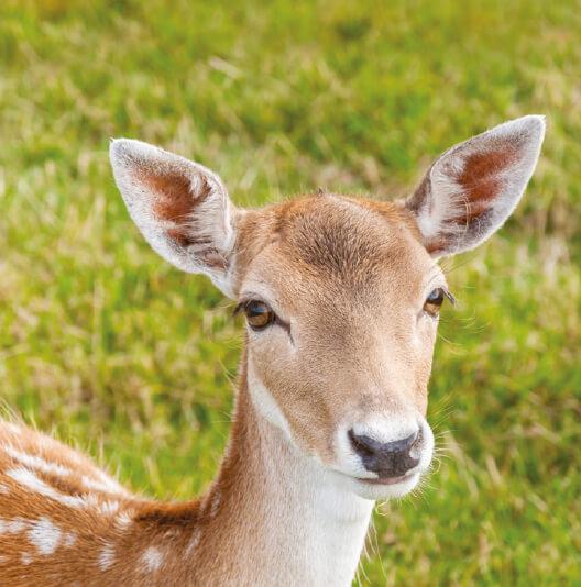 dieren-europa-damhert-fact-01