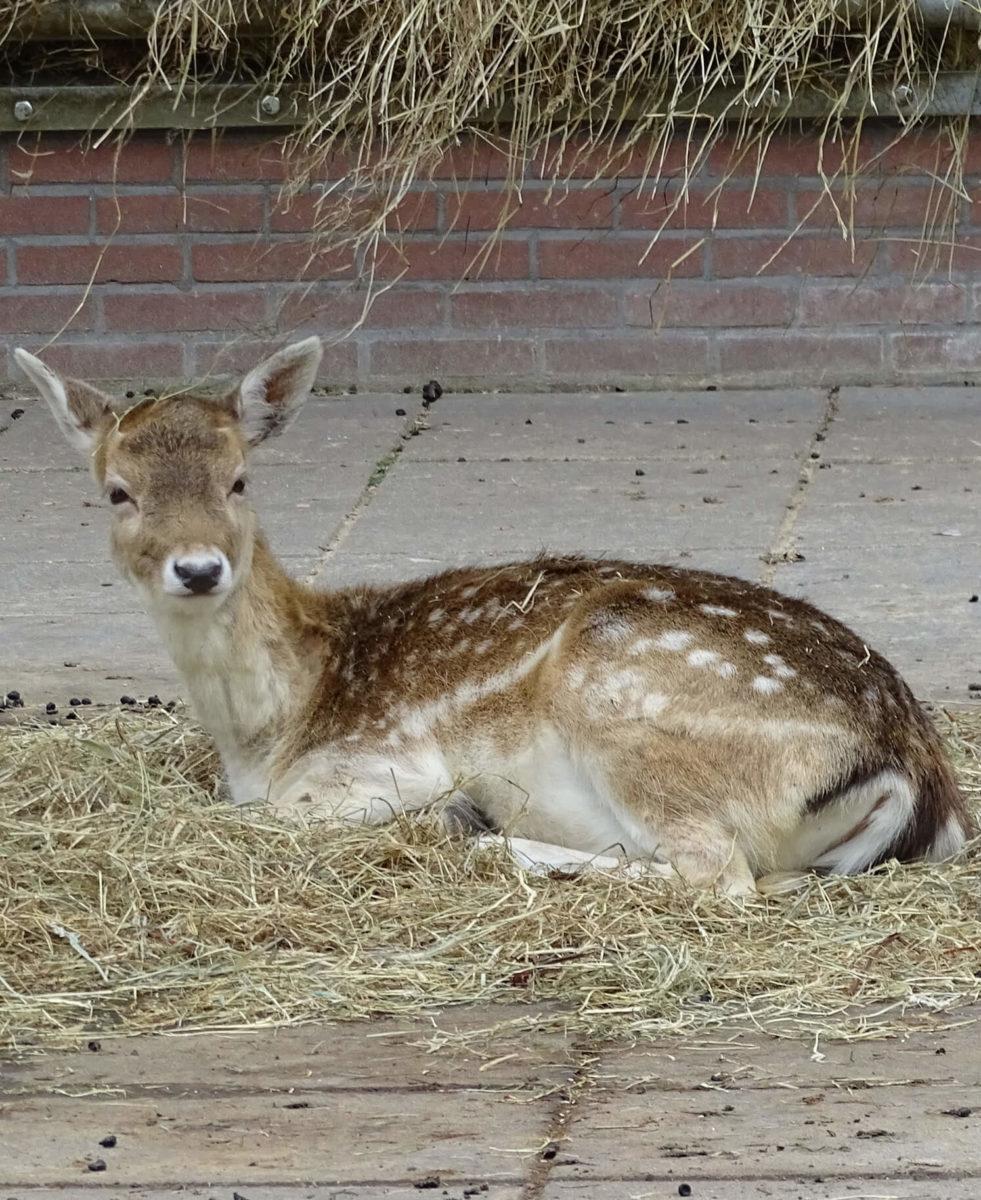 dieren-europa-damhert-hoofdafbeelding