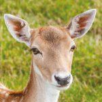 dieren-europa-damhert-pasfoto