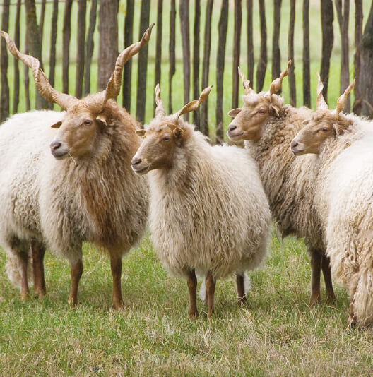 dieren-europa-rackaschaap-fact-02