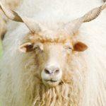 dieren-europa-rackaschaap-pasfoto