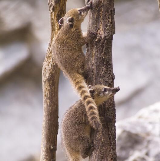 dieren-noordamerika-neusbeer-fact-02