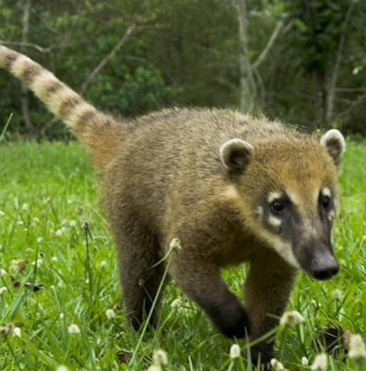 dieren-noordamerika-neusbeer-fact-03