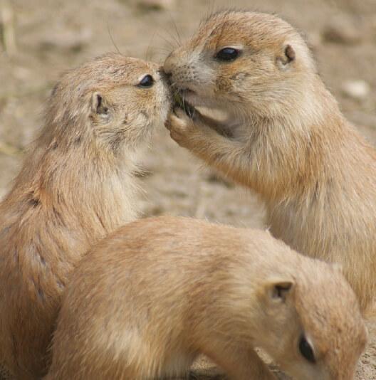 dieren-noordamerika-prairiehond-fact-02