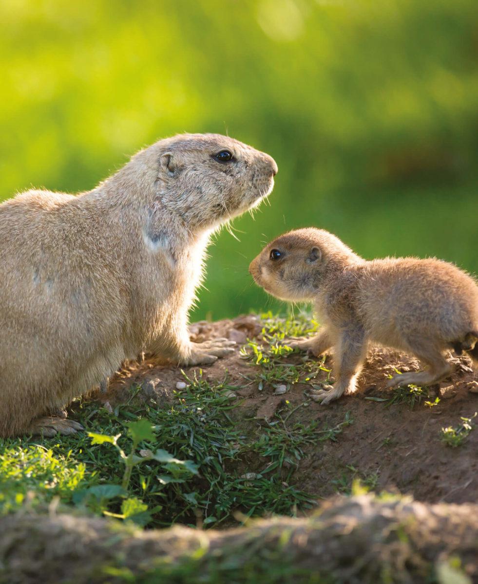dieren-noordamerika-prairiehond-hoofdafbeelding