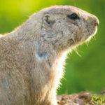 dieren-noordamerika-prairiehond-pasfoto-01