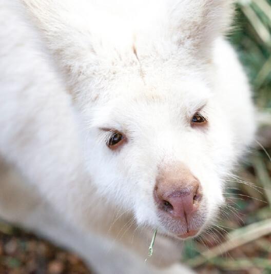 dieren-oceanie-albino-bennettwallaby-fact-01