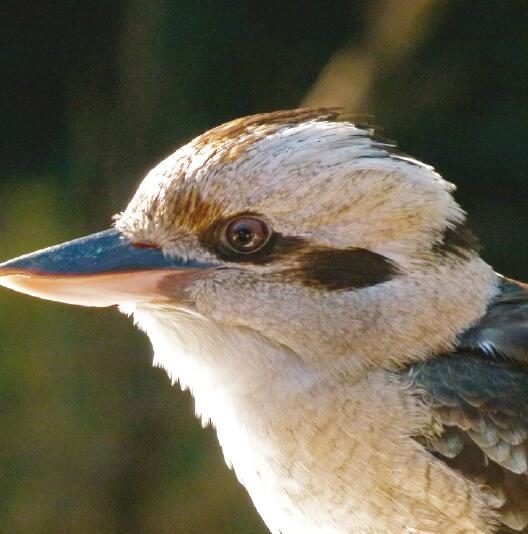 dieren-oceanie-kookaburra-fact-01