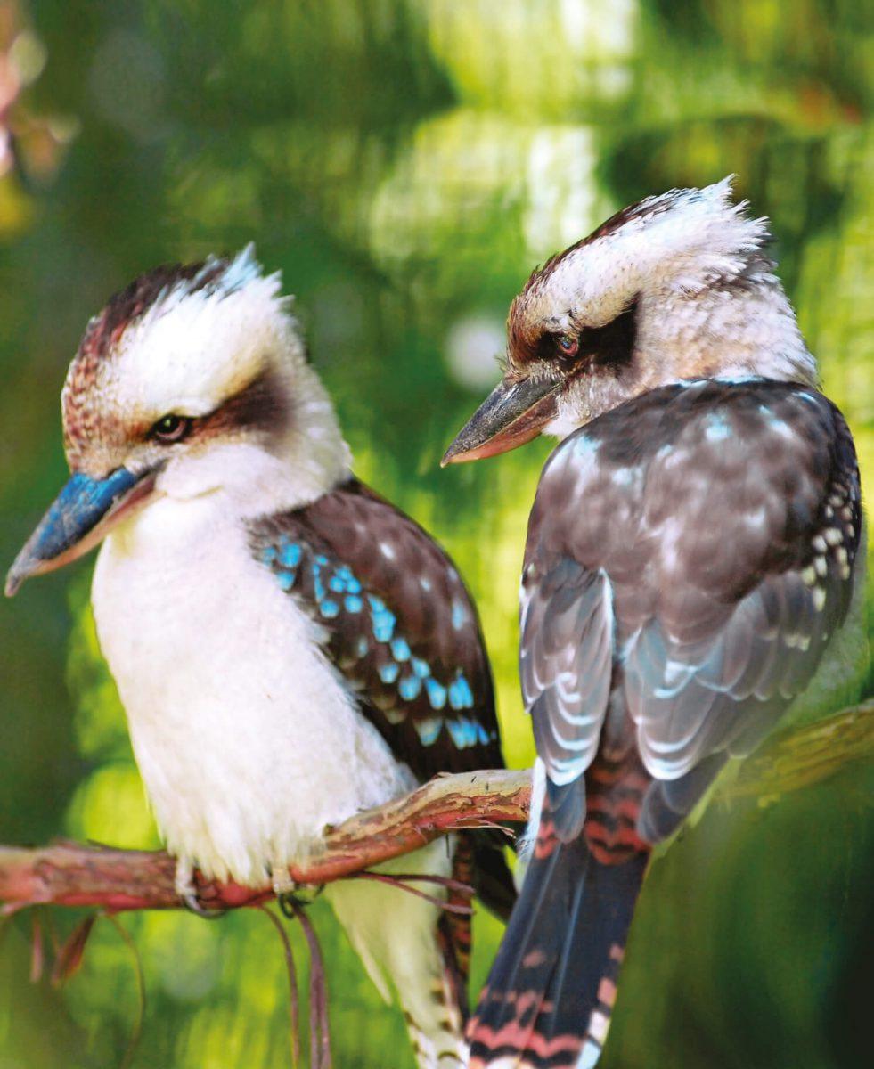 dieren-oceanie-kookaburra-hoofdafbeelding