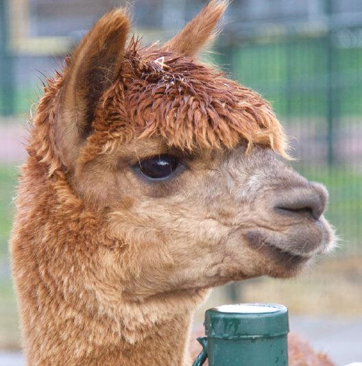 dieren-zuidamerika-alpaca-fact-01