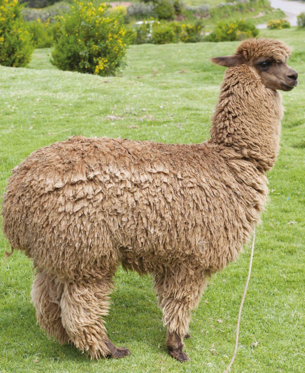dieren-zuidamerika-alpaca-hoofdafbeelding