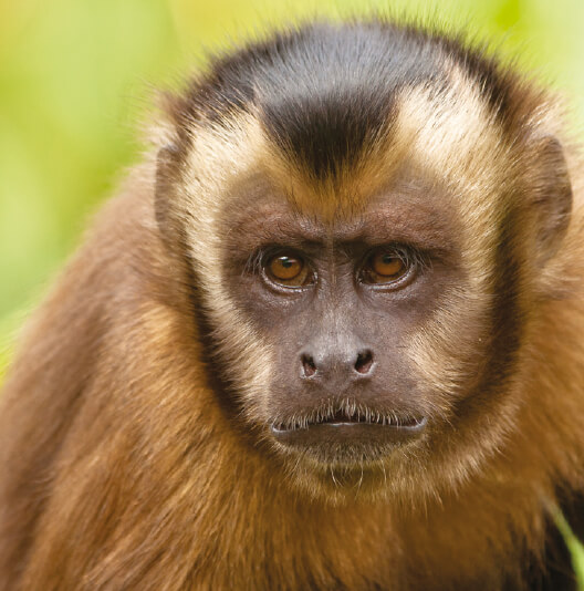 dieren-zuidamerika-bruine-kuifkapucijnaap-fact-01
