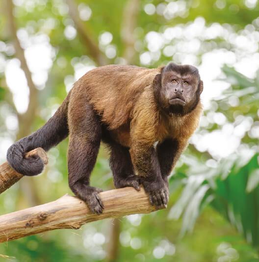 dieren-zuidamerika-bruine-kuifkapucijnaap-fact-02