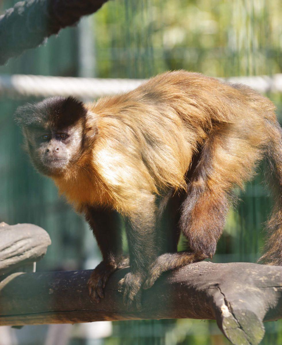 dieren-zuidamerika-bruine-kuifkapucijnaap-hoofdafbeelding