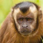 dieren-zuidamerika-bruine-kuifkapucijnaap-pasfoto