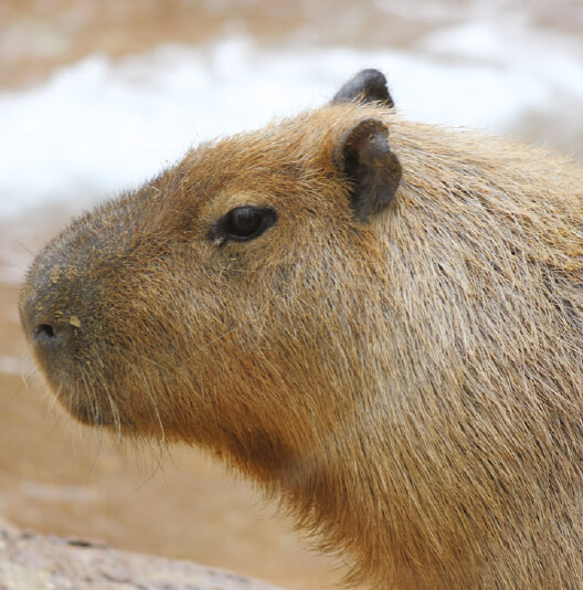dieren-zuidamerika-capibara-fact-01