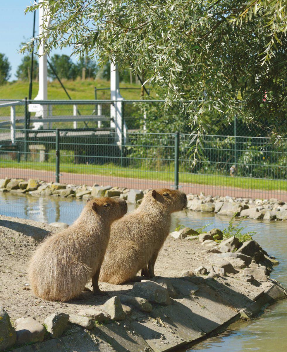 dieren-zuidamerika-capibara-hoofdafbeelding
