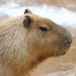 dieren-zuidamerika-capibara-pasfoto