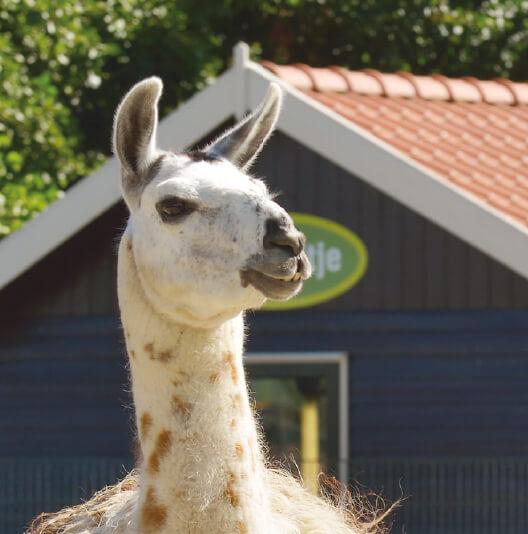 dieren-zuidamerika-lama-fact-01