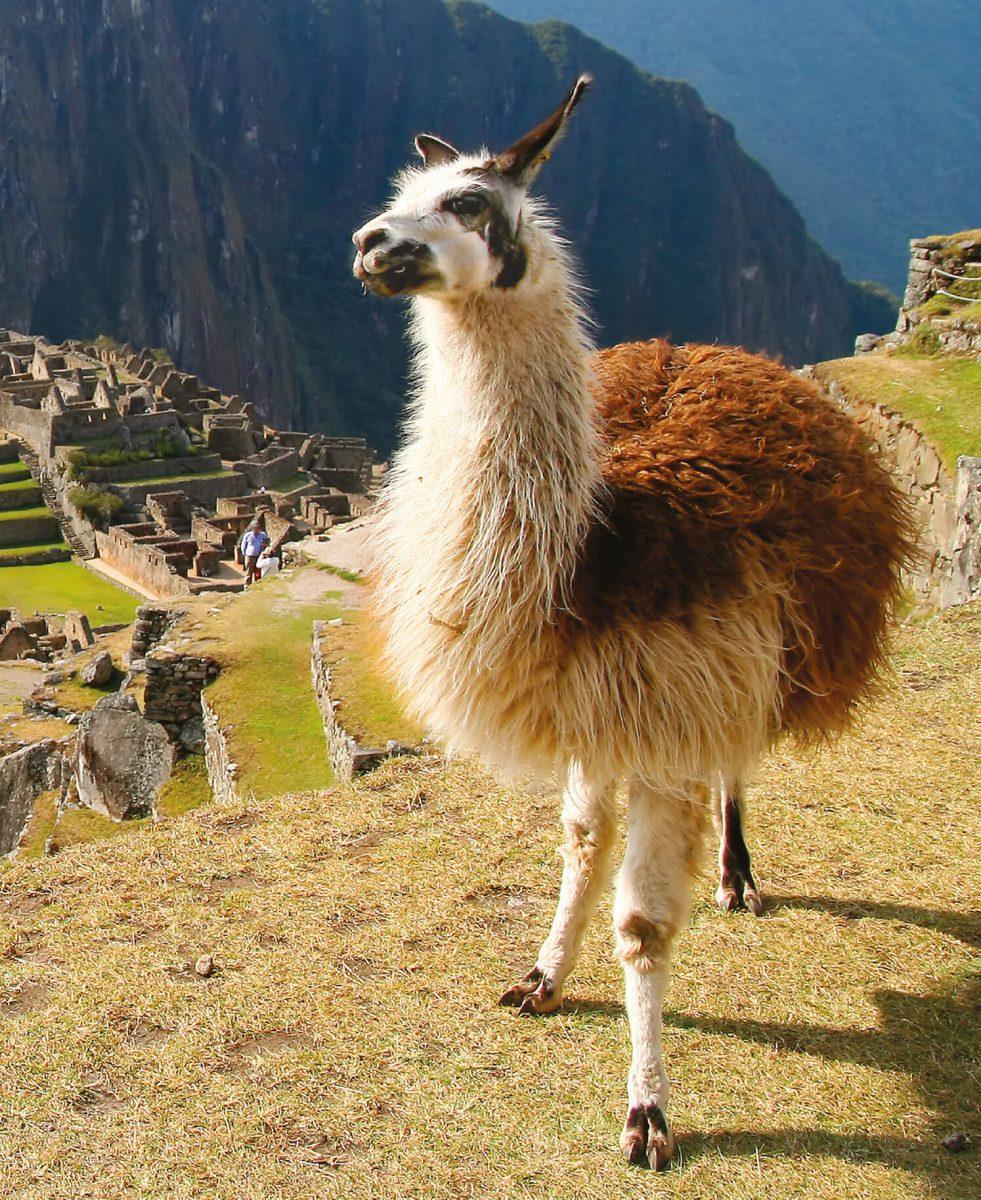 dieren-zuidamerika-lama-hoofdafbeelding