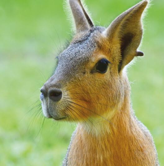 dieren-zuidamerika-mara-fact-01