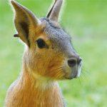 dieren-zuidamerika-mara-pasfoto