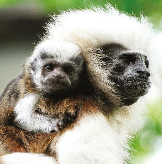 dieren-zuidamerika-pincheaap-fact-01