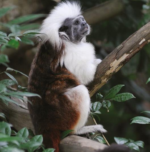 dieren-zuidamerika-pincheaap-fact-02