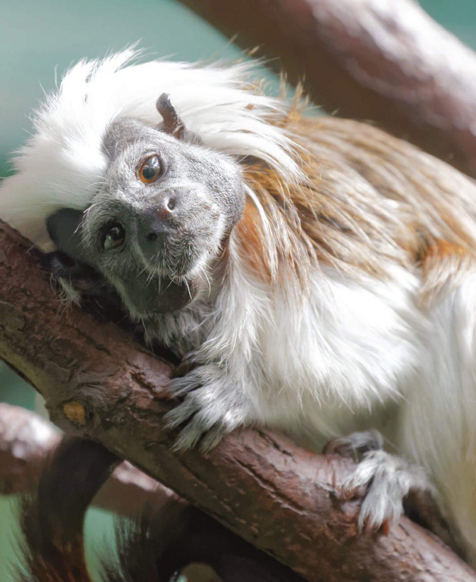dieren-zuidamerika-pincheaap-hoofdafbeelding