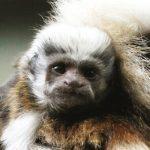dieren-zuidamerika-pincheaap-pasfoto