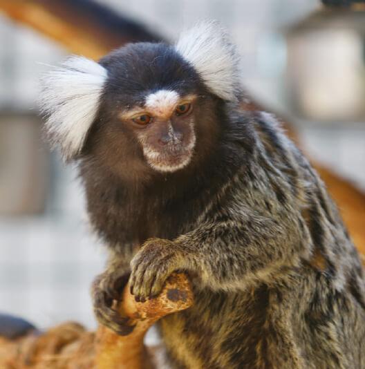 dieren-zuidamerika-witoorpenseelaap-fact-01