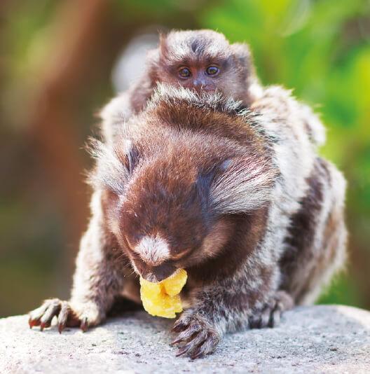 dieren-zuidamerika-witoorpenseelaap-fact-02