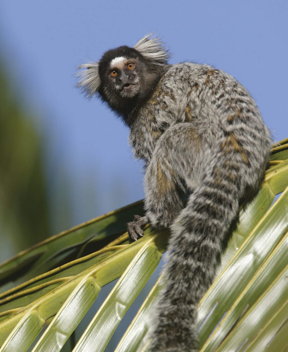 dieren-zuidamerika-witoorpenseelaap-hoofdafbeelding