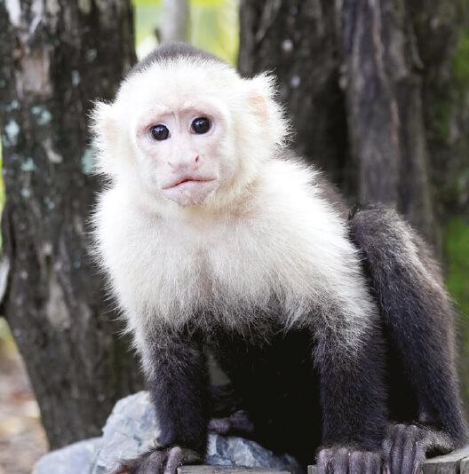 dieren-zuidamerika-witschouderkapucijnaap-fact-01